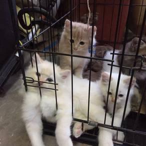 Kucing Bulu Tebal
