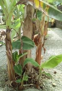 Anak pokok pisang
