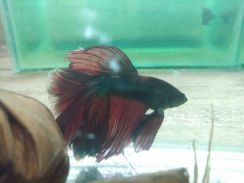 Ikan laga halfmoon fancy red & blue