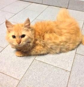 Persian Cat ( Big size Generation)