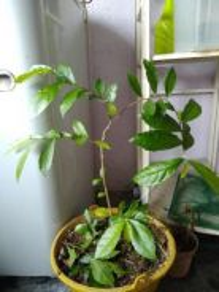 Anak pokok sina (bonzai)