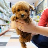 Quality Super Red Brown Toy Poodle puppies