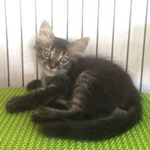 Anak kucing Parsi mixed DLH