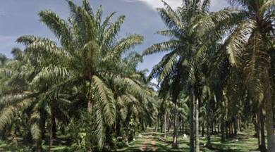 30 acres Palm Oil Land | nearby Karangan | FOR SALE