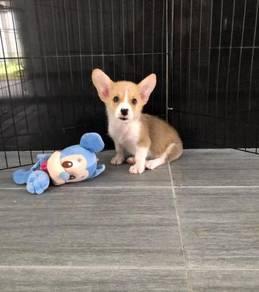 Short leg Corgi puppy