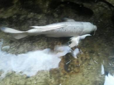 Ikan koi (9 ekor)
