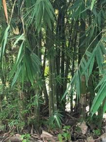 Buloh Bamboo Buluh