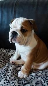 English bulldog pups available