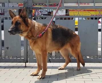 Adult 3years German Shepherd
