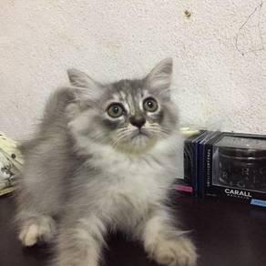 Kucing PARSI mix DLH