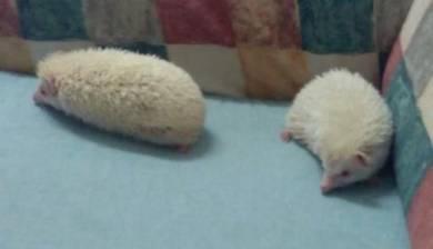 A pair Hedgehog albino(1year)