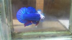 Betta halfmoon plakat monster