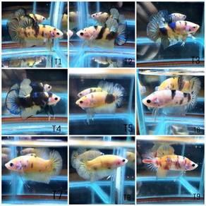 Betta Fish Koi Tiger