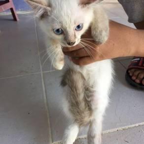 Anak kucing 2 bulan baka dlh siam