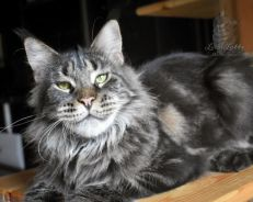 Pure (CERT) Maine Coon