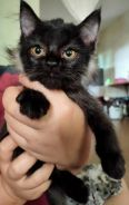 Parsian kitten mix blh