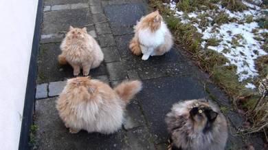 Persian kitten kucing parsi giant necklace