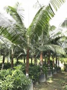 Dypsis Lastelliana (Red Neck Palm)