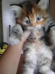 Cute Female Persian Kitten