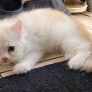 2 Persian mixed ragdoll for rehome