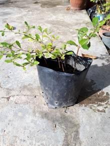 Pokok Bucida Hijau