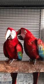 Burung green wing pair matang Siap lesen