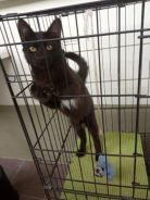 Black kitten/anak kucing