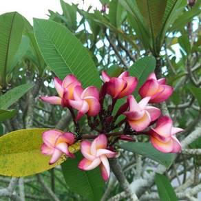 Plumeria Tree - Pink flowers
