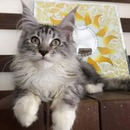Maine Coon Cat For Adoption