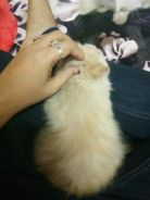 Kucing Baka Persian