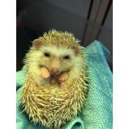 Cute Hedgehog for sell