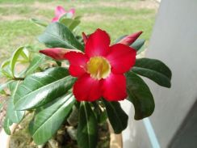 Bunga kemboja cina / adenium bonsai