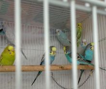 Burung baji / budgie
