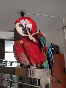 Burung green wing macaw jinak siap lesen