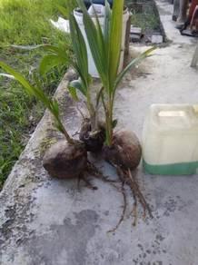 Pokok kelapa pandan