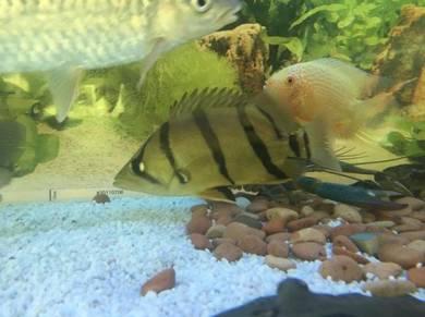 Tiger fish ikan