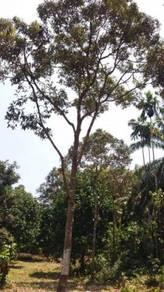 Tanah Kebun Durian Mukim Hulu Berang