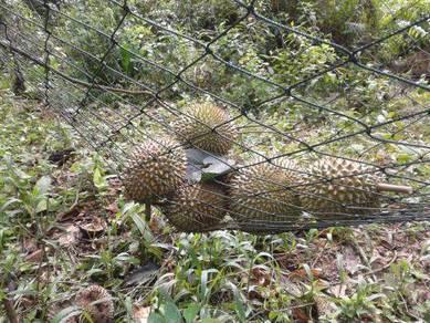 Kebun getah dan Durian 4 RELONG JUNJONG KULIM KEDAH