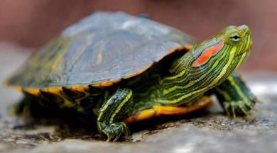 Turtle and tortoises
