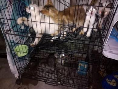 Kucing Palsi Siam