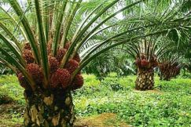 Oil Palm Land - 8.4 Acres - Bukit Mertajam, Penang