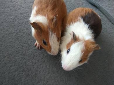 Dua ekor guinea pig