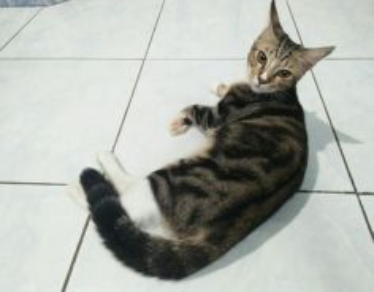 Kucing Bengal Marble stokin putih