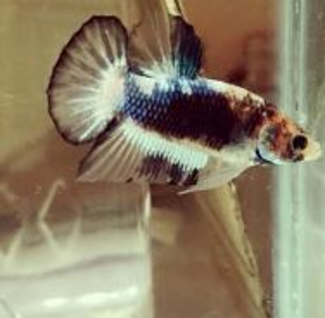 Ikan laga betta HMPK FANCY