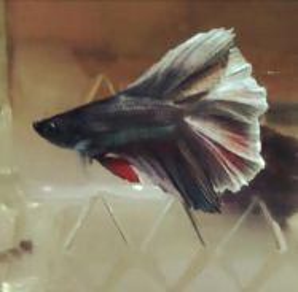 Ikan laga betta DOUBLETAIL COPPER