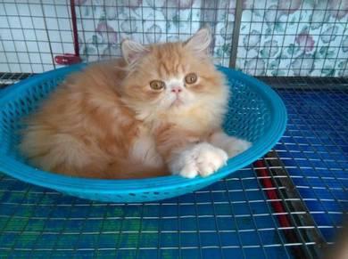 Anak kucing persian flatface oren putih