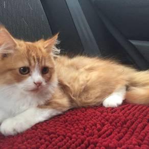 Kucing parsi kitten