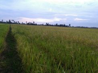 Tanah sawah untuk di sewa, Kodiang