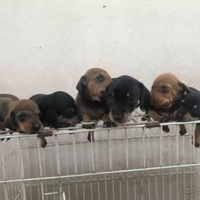 Dachshund-hot dog puppies