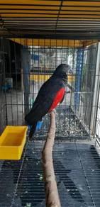 Burung pesquet's parrot Siap lesen